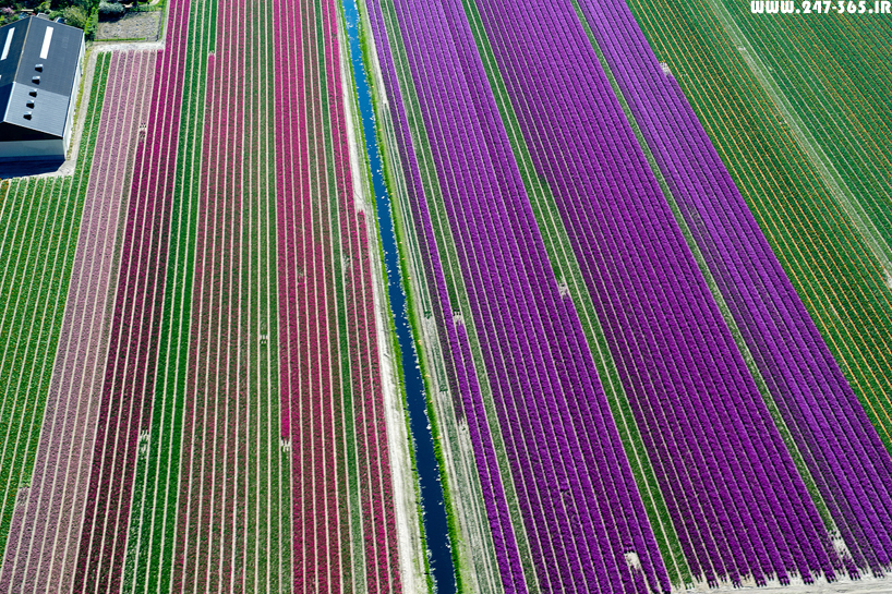 http://dl.247-365.ir/pic/earth_and_nature/tulip_farm_in_netherlands/Tulip_Farm_In_Netherlands_07.jpg