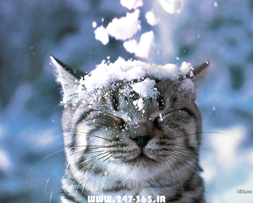 http://dl.247-365.ir/pic/gif/cat_in_the_snow/Cat_In_The_Snow.jpg