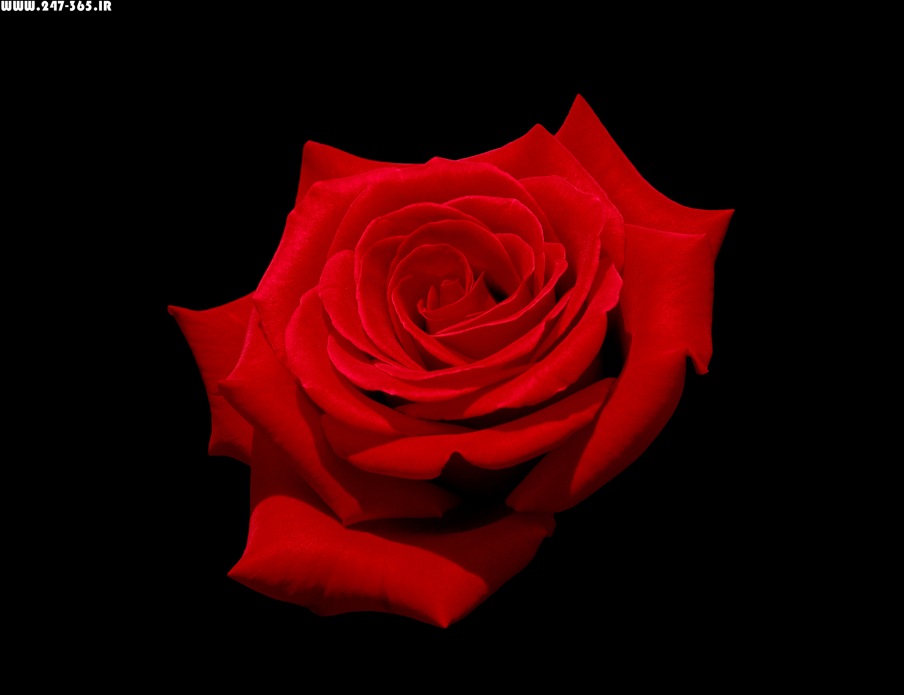 http://dl.247-365.ir/pic/gol/red_rose_3/Red_Rose_3_09.jpg