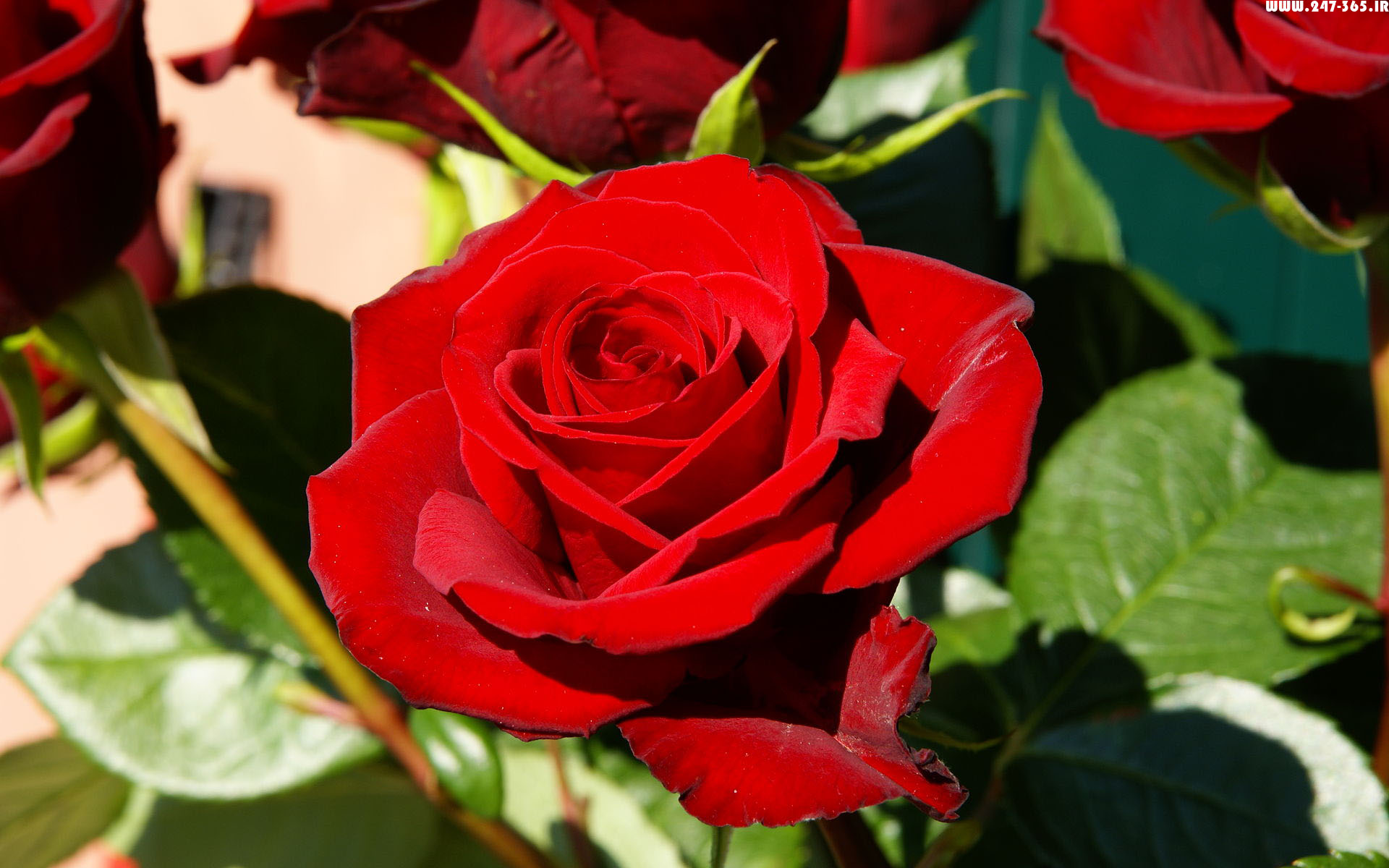 http://dl.247-365.ir/pic/gol/red_rose_3/Red_Rose_3_15.jpg