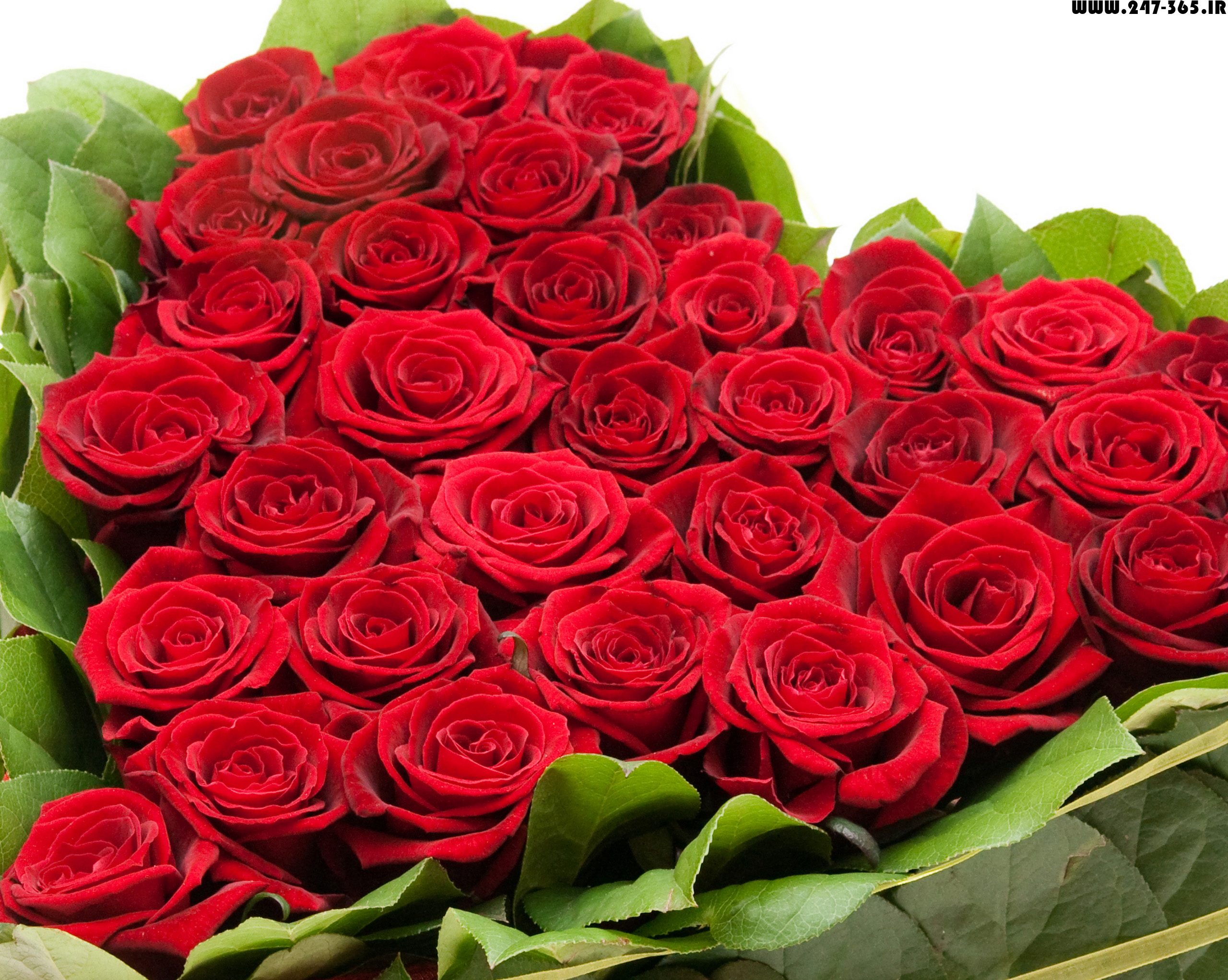 http://dl.247-365.ir/pic/gol/red_rose_4/Red_Rose_4_09.jpg