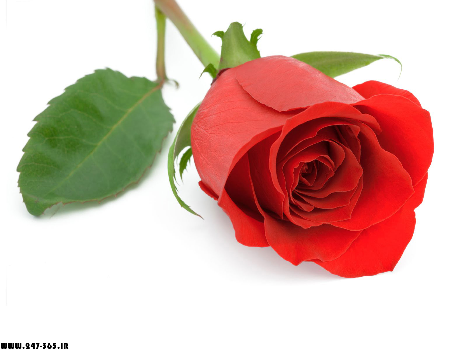 http://dl.247-365.ir/pic/gol/red_rose_4/Red_Rose_4_18.jpg