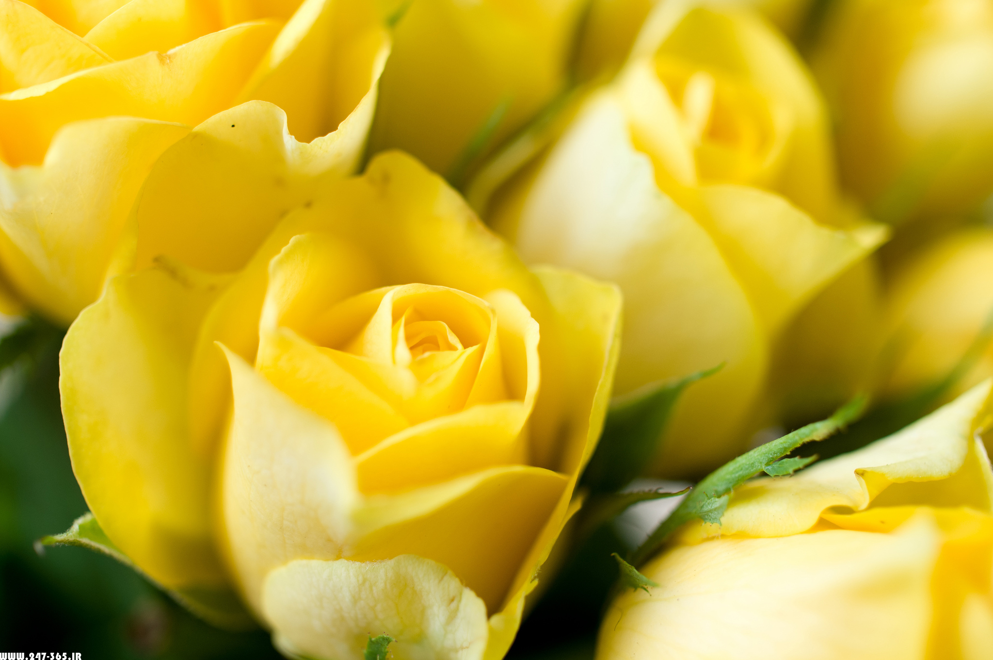 http://dl.247-365.ir/pic/gol/yellow_rose_1/Yellow_Rose_1_01.jpg