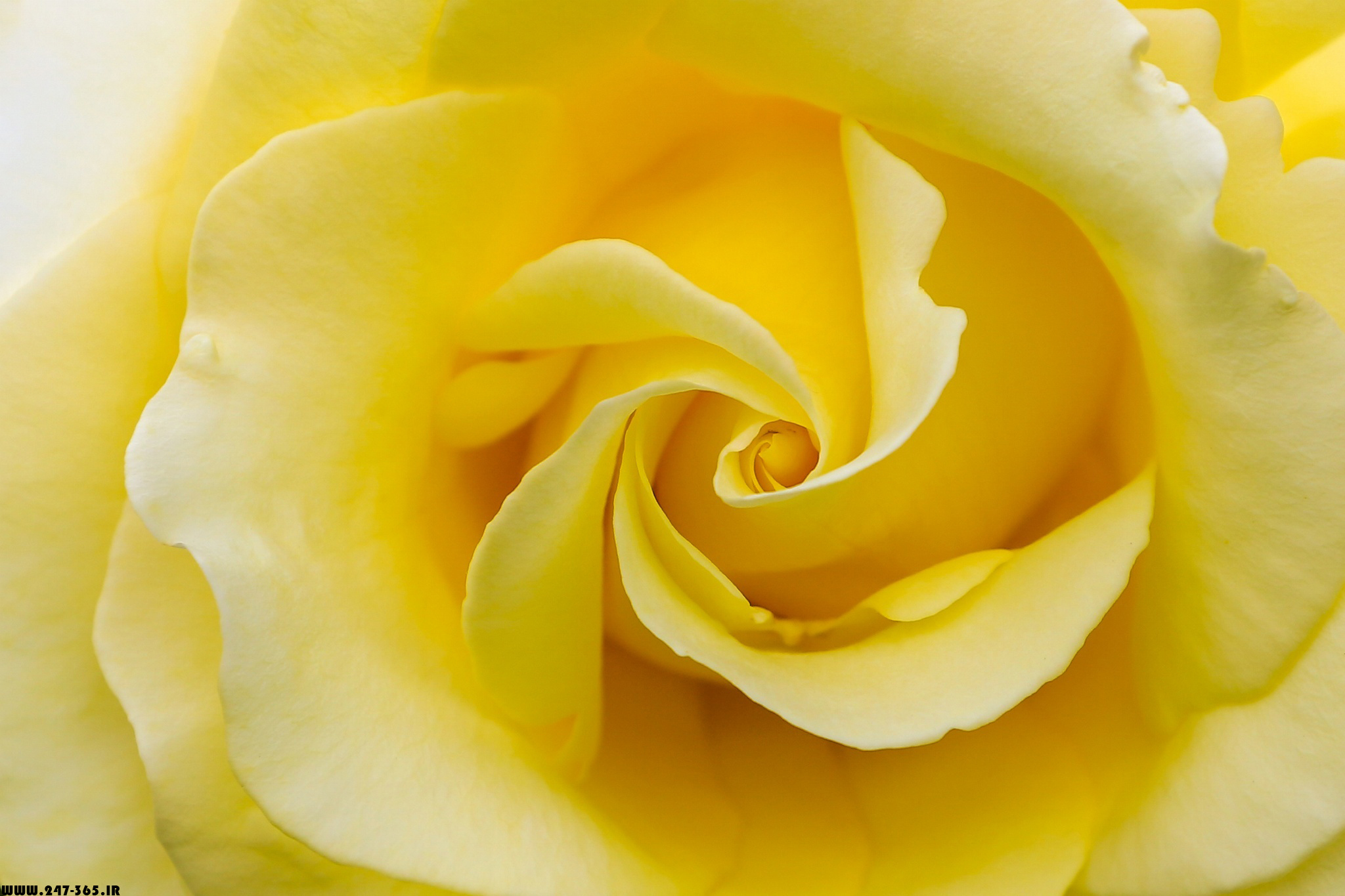 http://dl.247-365.ir/pic/gol/yellow_rose_2/Yellow_Rose_2_01.jpg