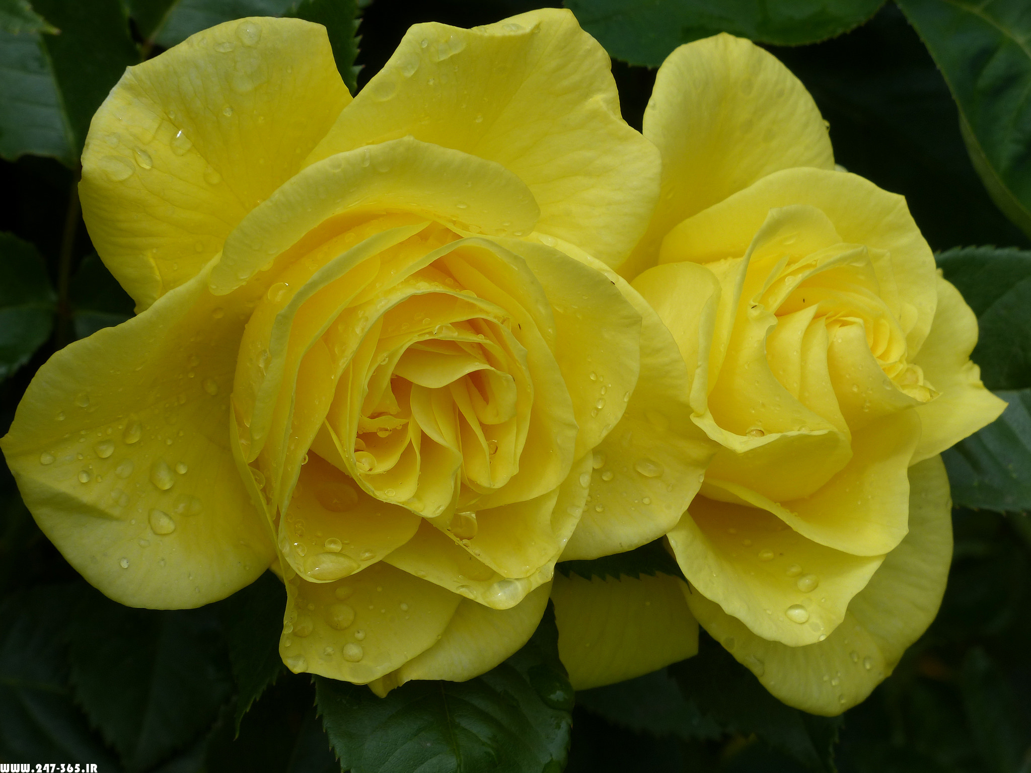 http://dl.247-365.ir/pic/gol/yellow_rose_2/Yellow_Rose_2_12.jpg