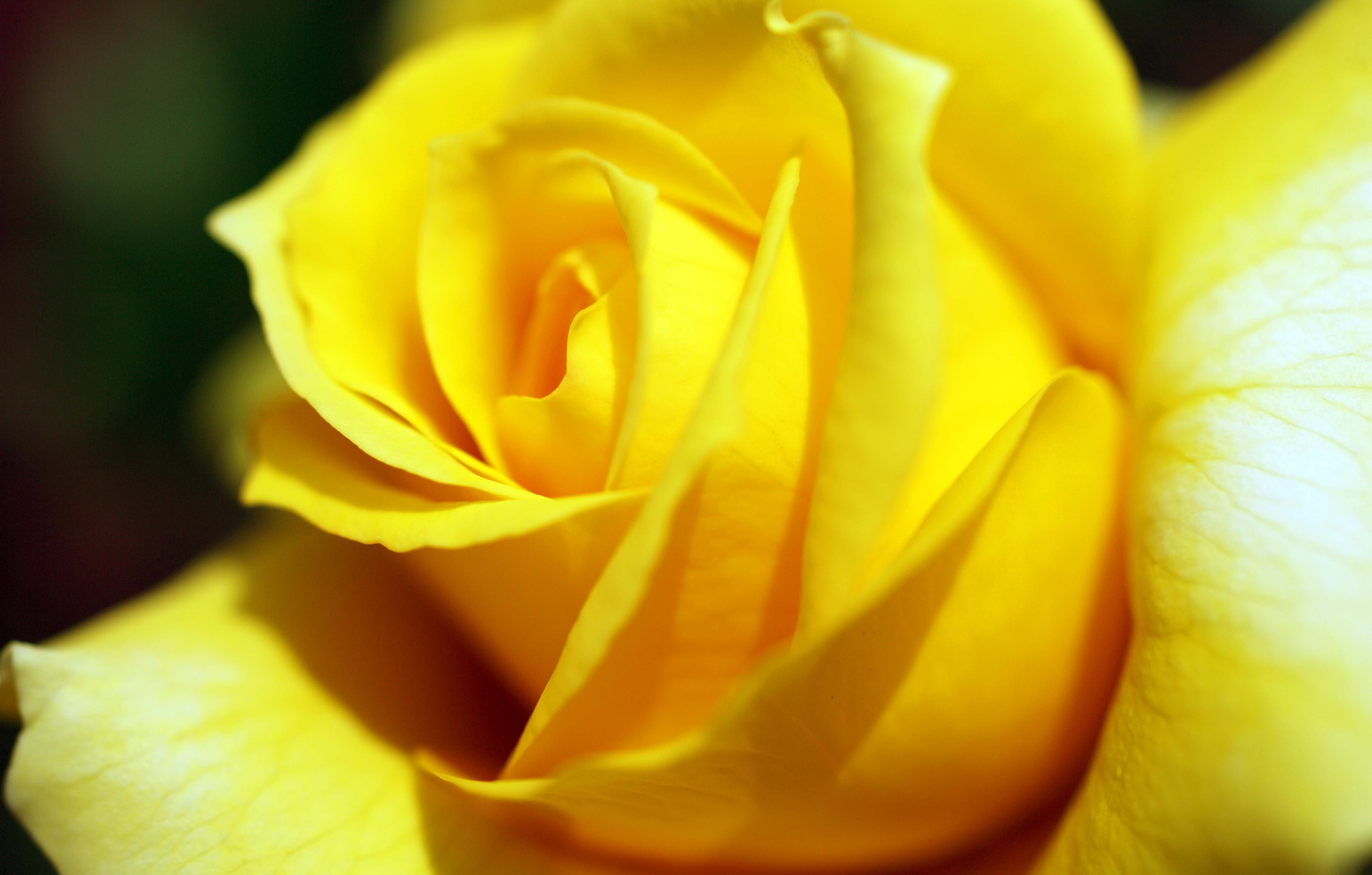 http://dl.247-365.ir/pic/gol/yellow_rose_2/Yellow_Rose_2_15.jpg