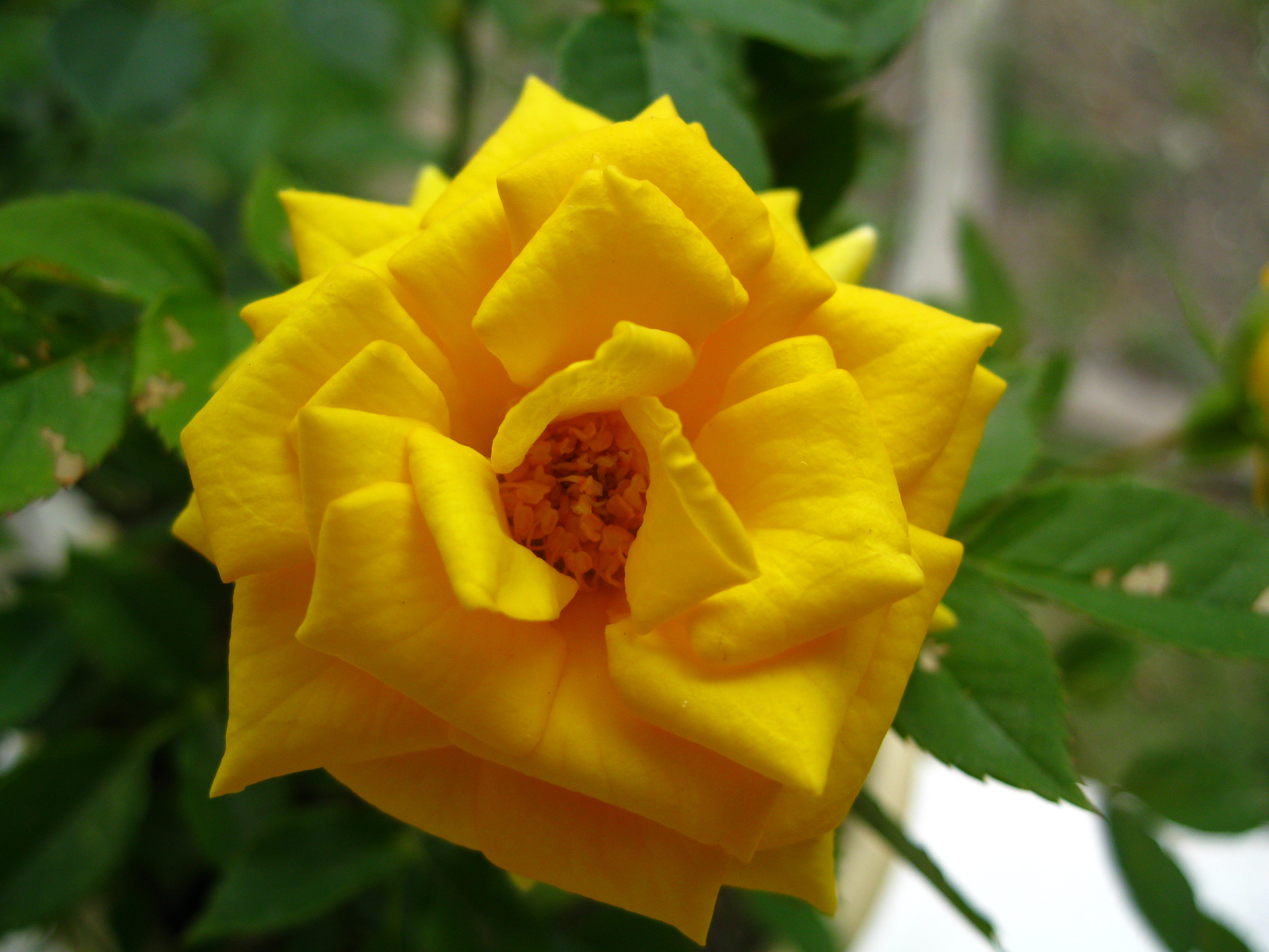 http://dl.247-365.ir/pic/gol/yellow_rose_2/Yellow_Rose_2_16.jpg