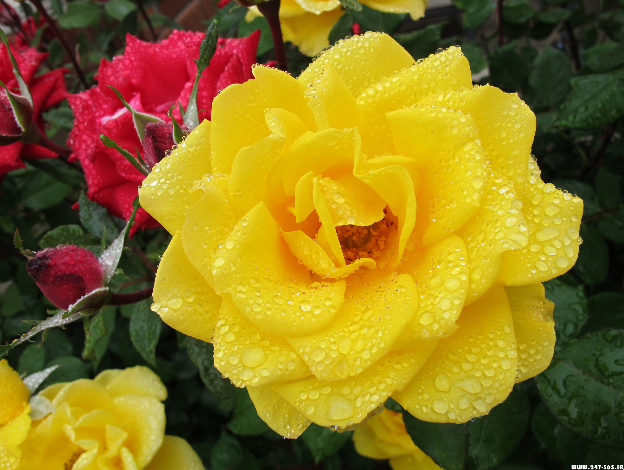 http://dl.247-365.ir/pic/gol/yellow_rose_2/Yellow_Rose_2_17.jpg