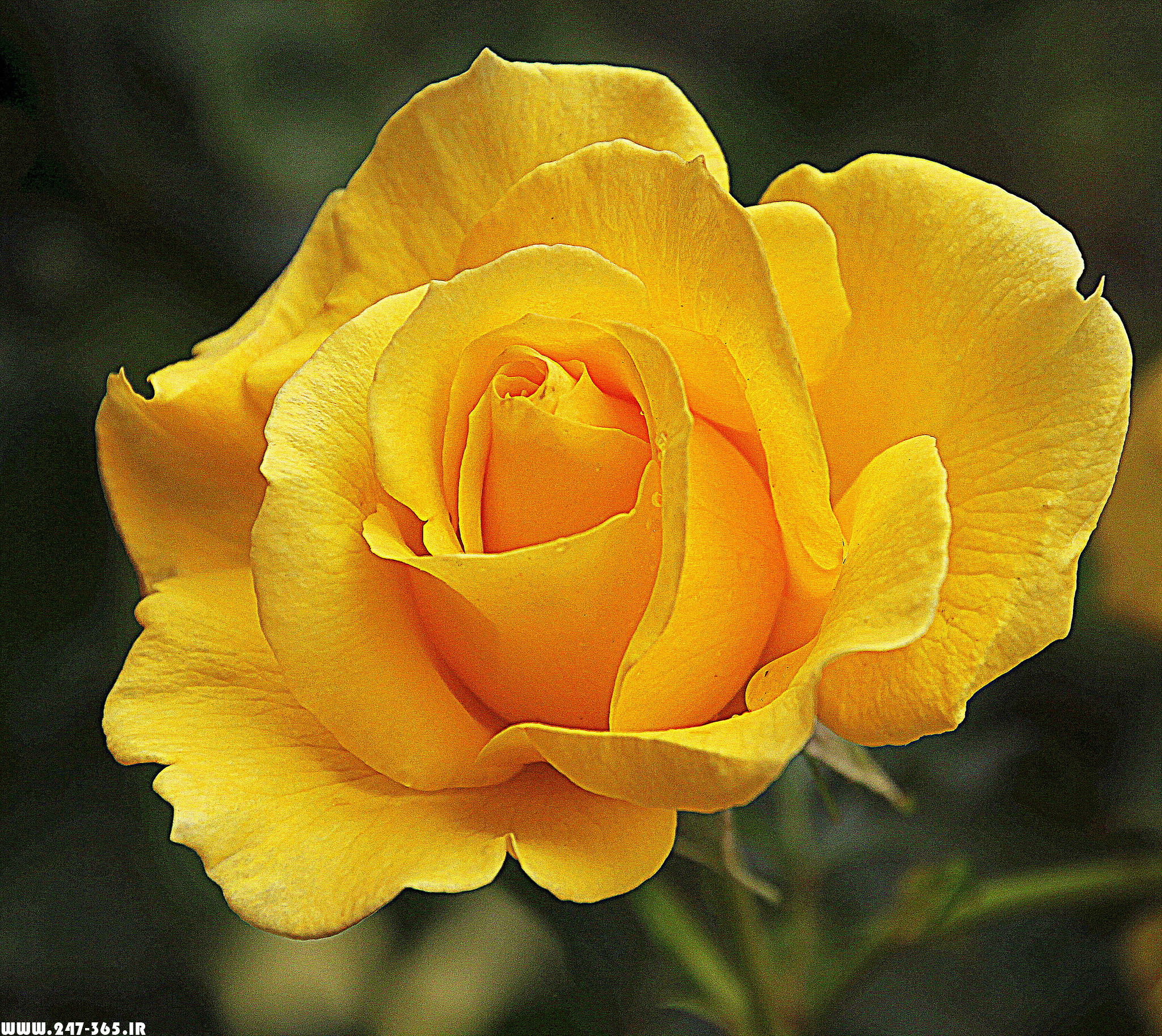 http://dl.247-365.ir/pic/gol/yellow_rose_2/Yellow_Rose_2_19.jpg