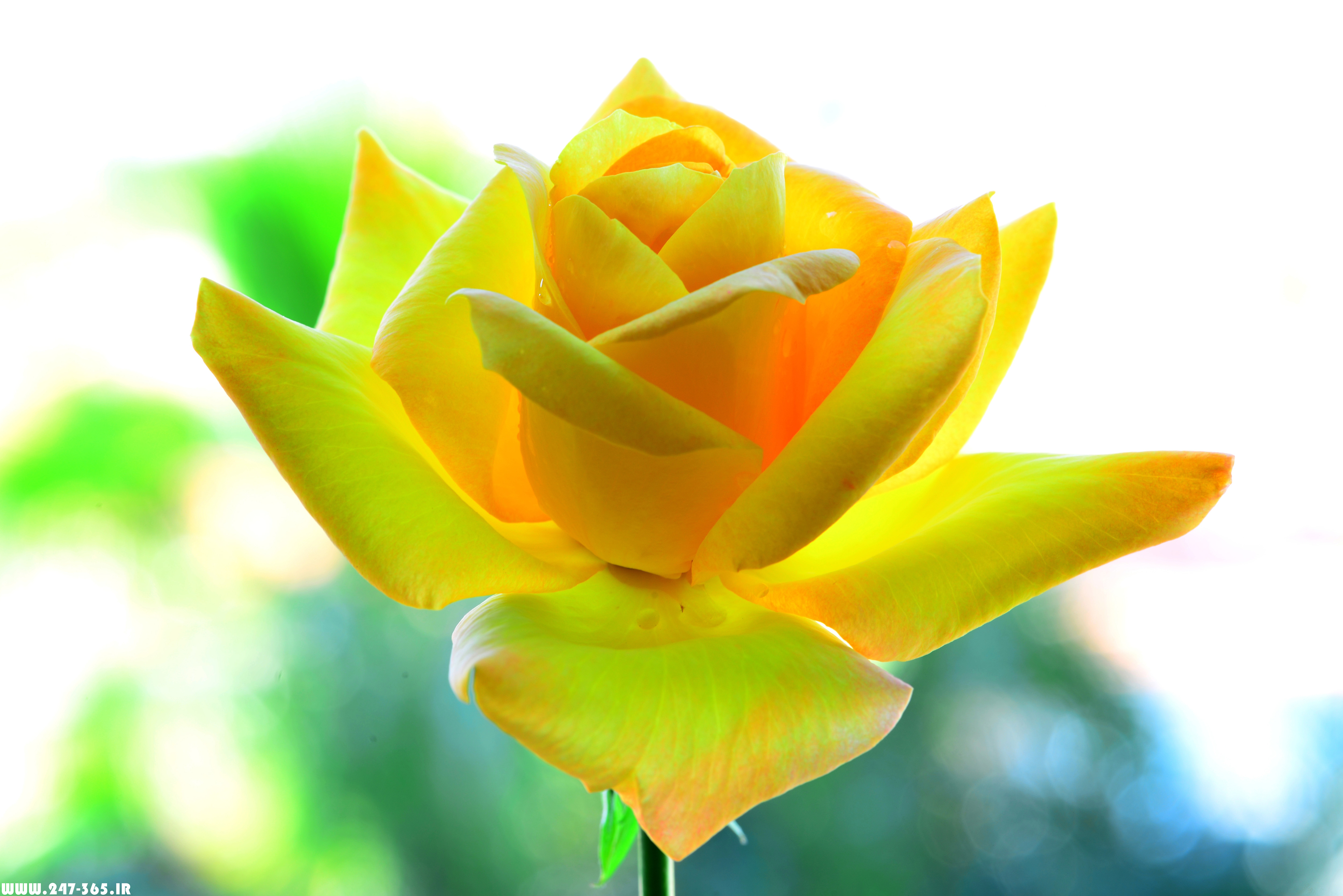 http://dl.247-365.ir/pic/gol/yellow_rose_2/Yellow_Rose_2_20.jpg