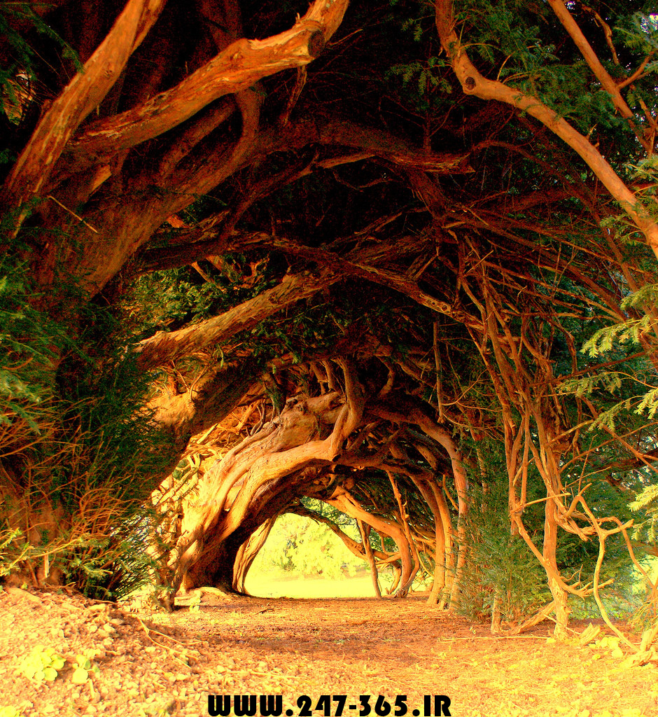 http://dl.247-365.ir/pic/tak_ax/1000_Year_Old_Yew_Trees.jpg