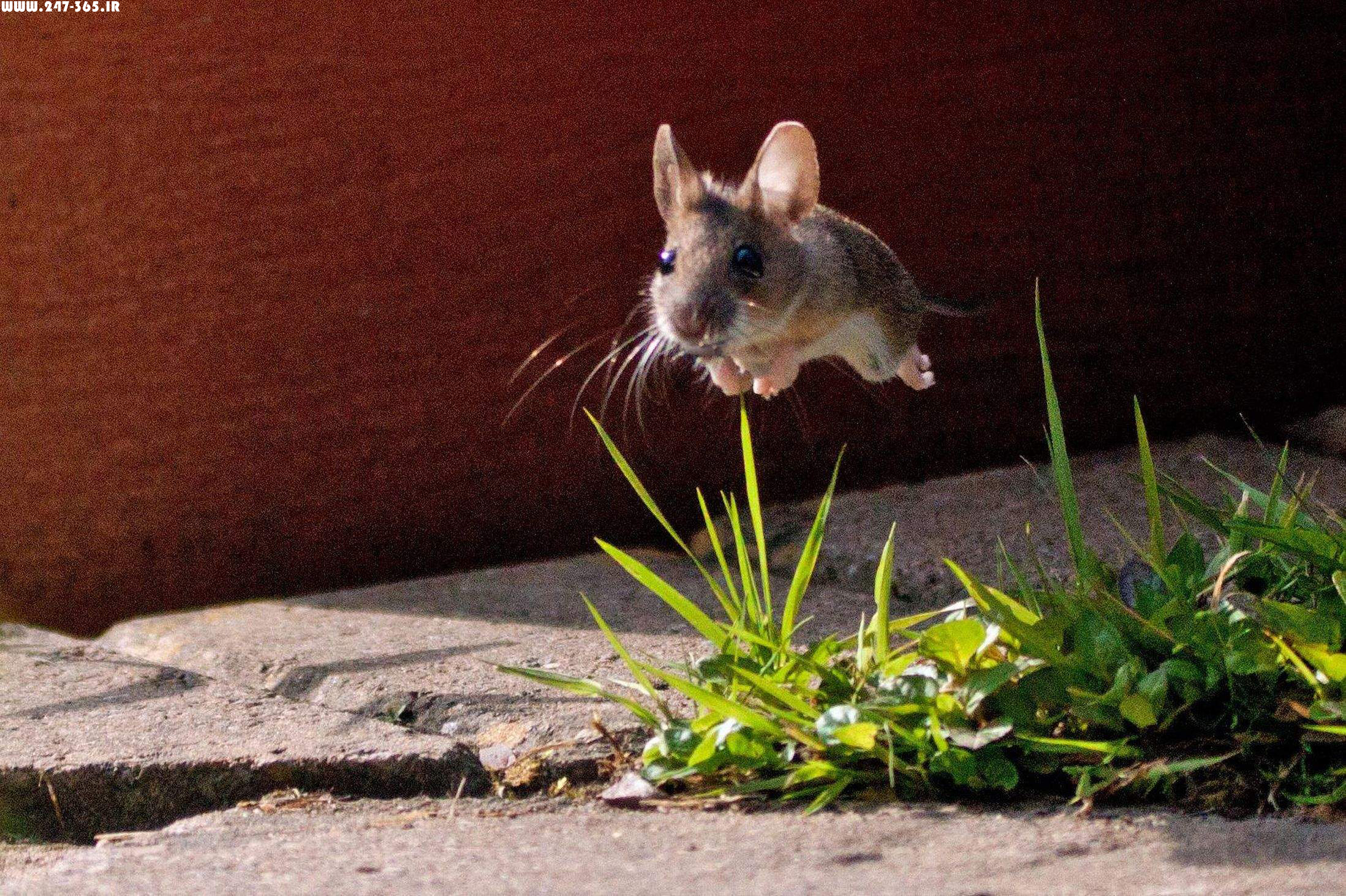 http://dl.247-365.ir/pic/tak_ax/Baby_Mouse_Jumping_Over_Grass.jpg