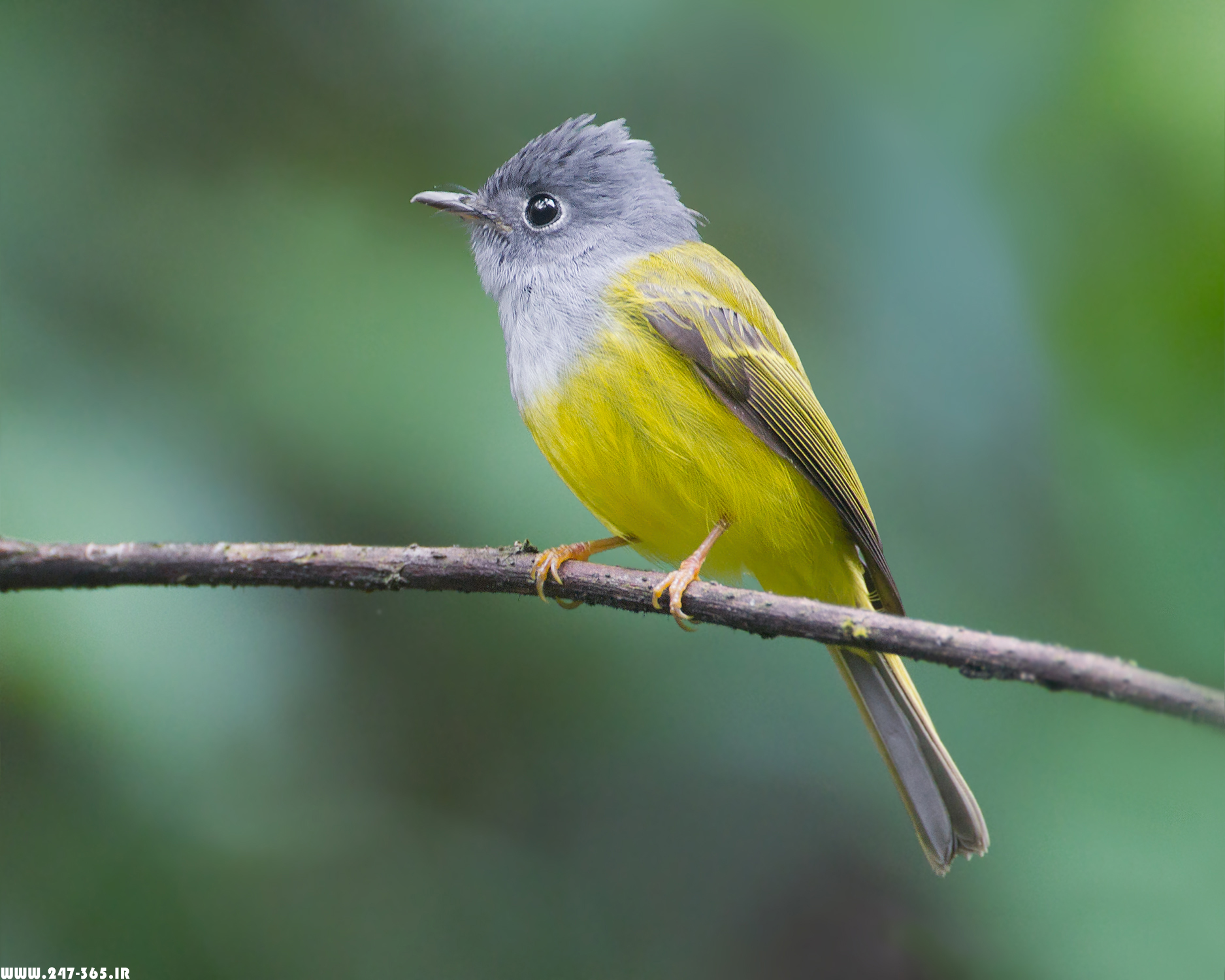 http://dl.247-365.ir/pic/tak_ax/Grey-Headed_Canary-Flycatcher.jpg