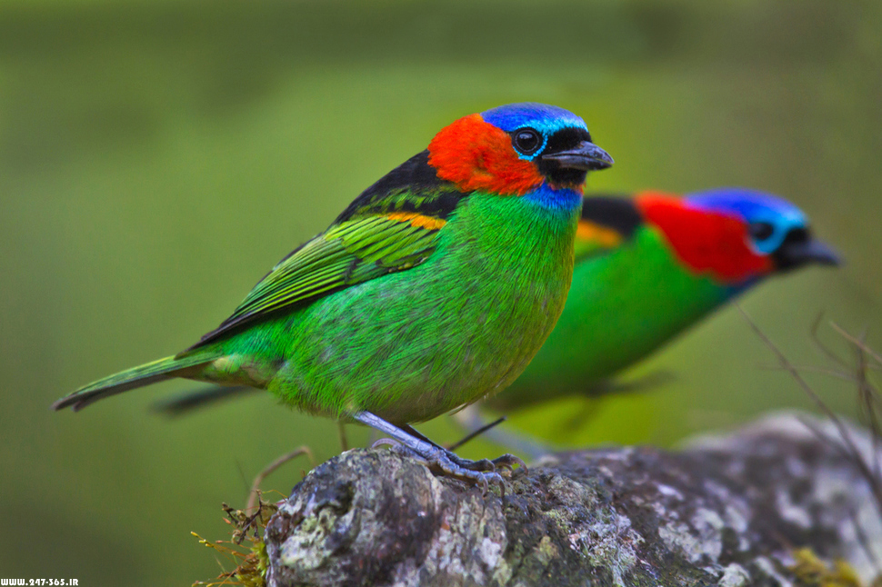 http://dl.247-365.ir/pic/tak_ax/Red-Necked_Tanager.jpg